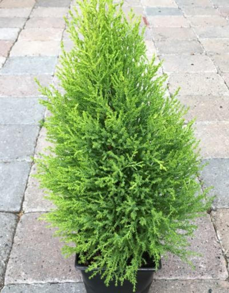 Cupressus macrocarpa 'Wilma Goldcrest'- 6 inch