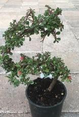 Cotoneaster d. 'Strieb's Findlin Pre-Bonsai'