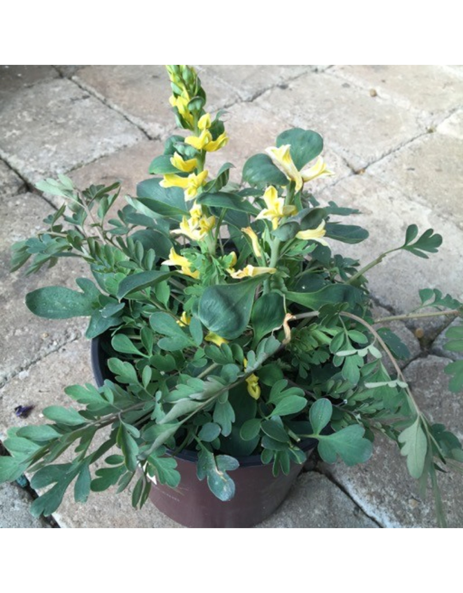 Corydalis 'Canary Feathers' 1 Gallon