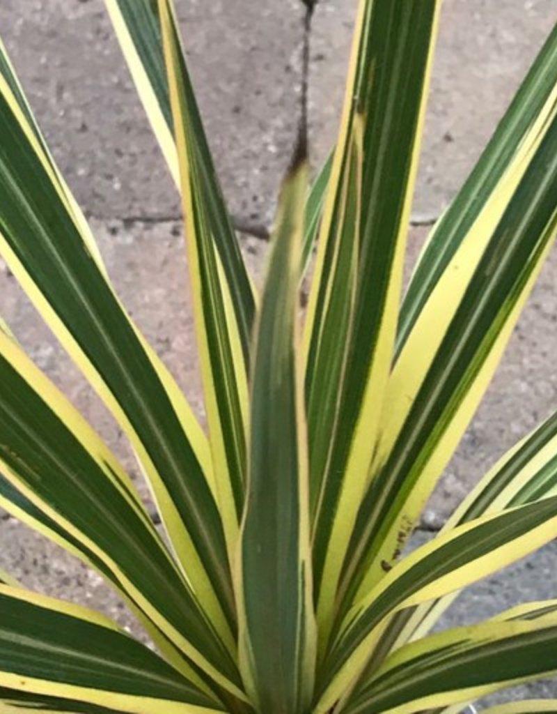 Cordyline australis 'Torbay Dazzler' - Quart