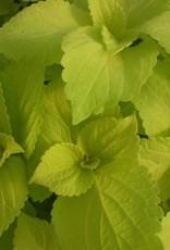 Coleus 'Life Lime'- 4 inch