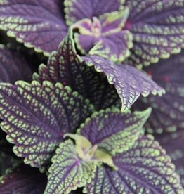 Coleus 'Abbey Road'- 4 inch