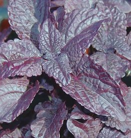 Coleus 'Dark Star'- 4 inch