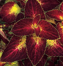 Coleus 'Dipt In Wine'- 4 inch