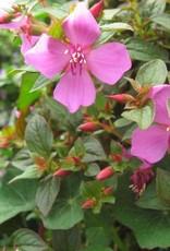 Centradenia 'Cascade'- 4 inch