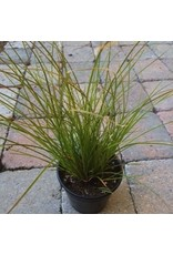 Carex testacea 'Orange Sedge' Quart