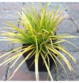 Carex oshimensis 'EverColor Everillo' 1 Gallon