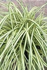 Carex 'Evergold' - 1 gal