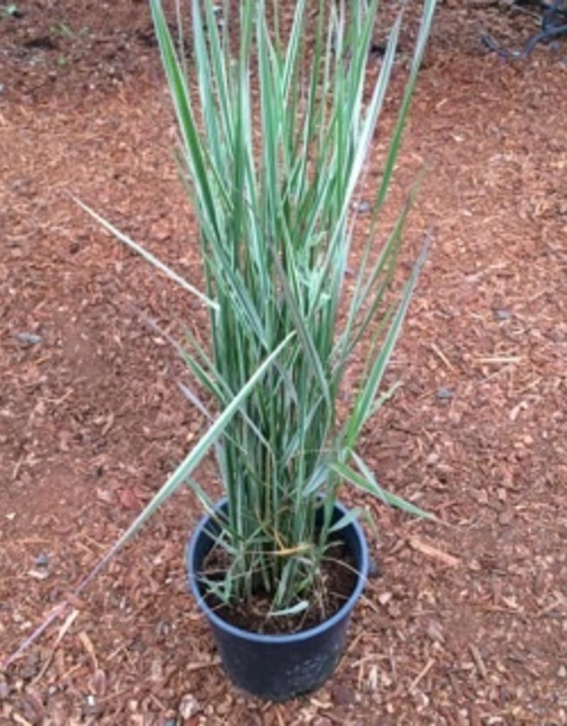 Calamagrostis 'Overdam'- 1 gal