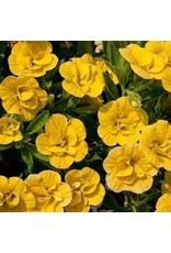 Calibrachoa 'Double Deep Yellow' - 4 inch