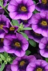 Calibrachoa 'Grape Punch'- 4 inch
