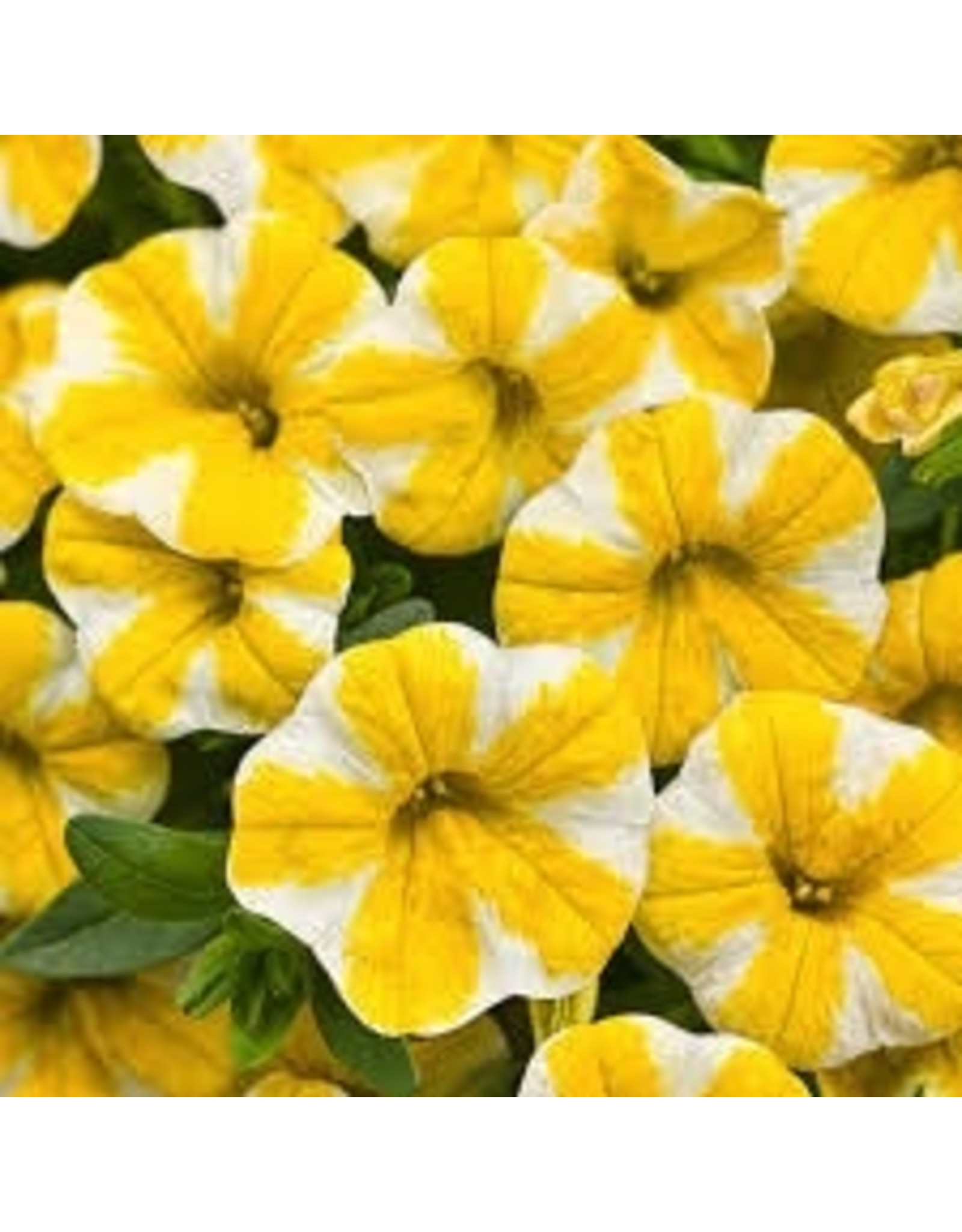 Calibrachoa 'Lemon Slice'- 4 inch