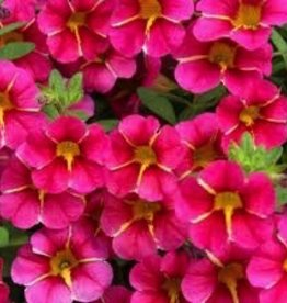 Calibrachoa 'Cherry Star'- 4 inch