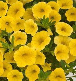 Calibrachoa 'Deep Yellow'- 4 inch