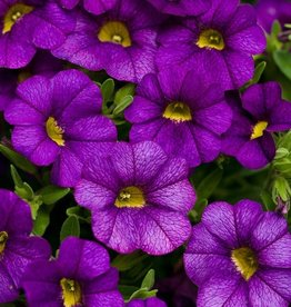 Calibrachoa 'Callie Purple'- 4 inch