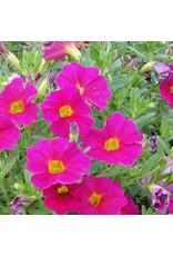 Calibrachoa 'Callie Rose'- 4 inch