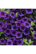 Calibrachoa 'Callie Dark Blue'- 4 inch