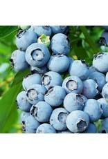 Blueberry 'Toro' 1 Gallon