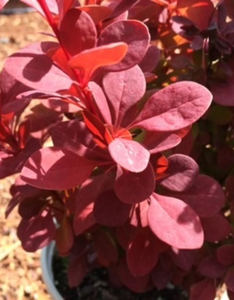 Berberis thunbergii 'Orange Rocket'- 1 gal