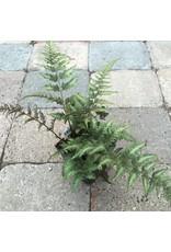 Athyrium niponicum 'Pictum'- 4 inch