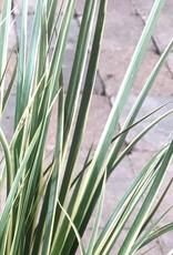 Acorus gramineus 'Variegatus'- 1 gal