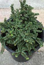 Ulmus parvifolia 'Hokkaido' - 1 gal