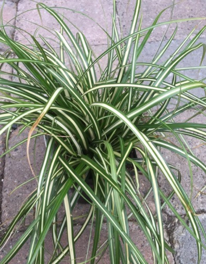Carex o. 'Evergold'- 4 inch