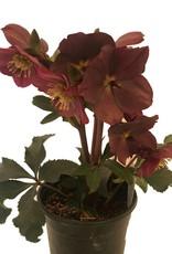 Helleborus 'Ice N' Roses Red' - 1 gal