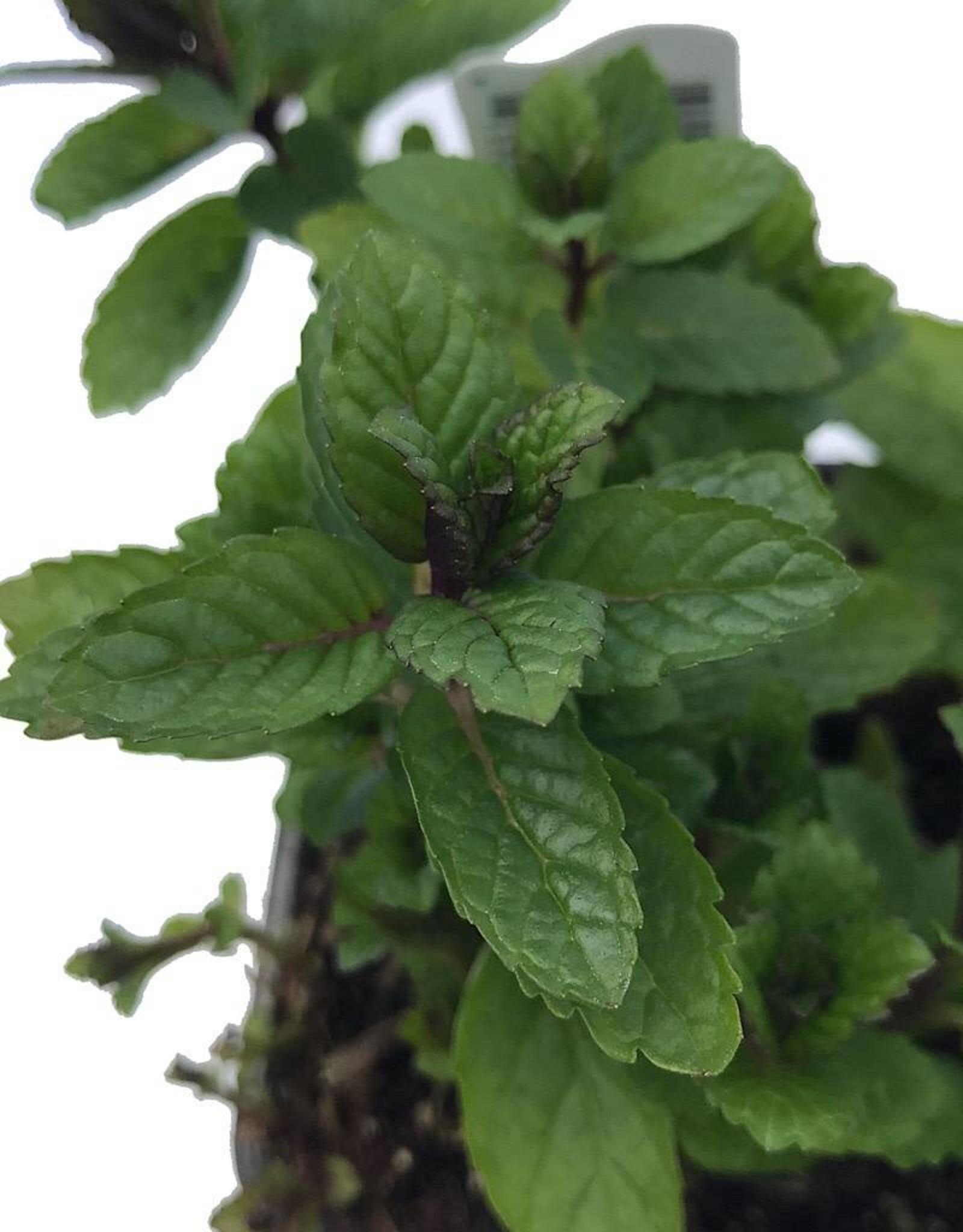 Mint 'Julep Spearmint' - 4 inch