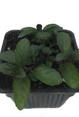Mint 'Peppermint' - 4 inch