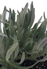 Lavandula i. 'Provence' - 4 inch