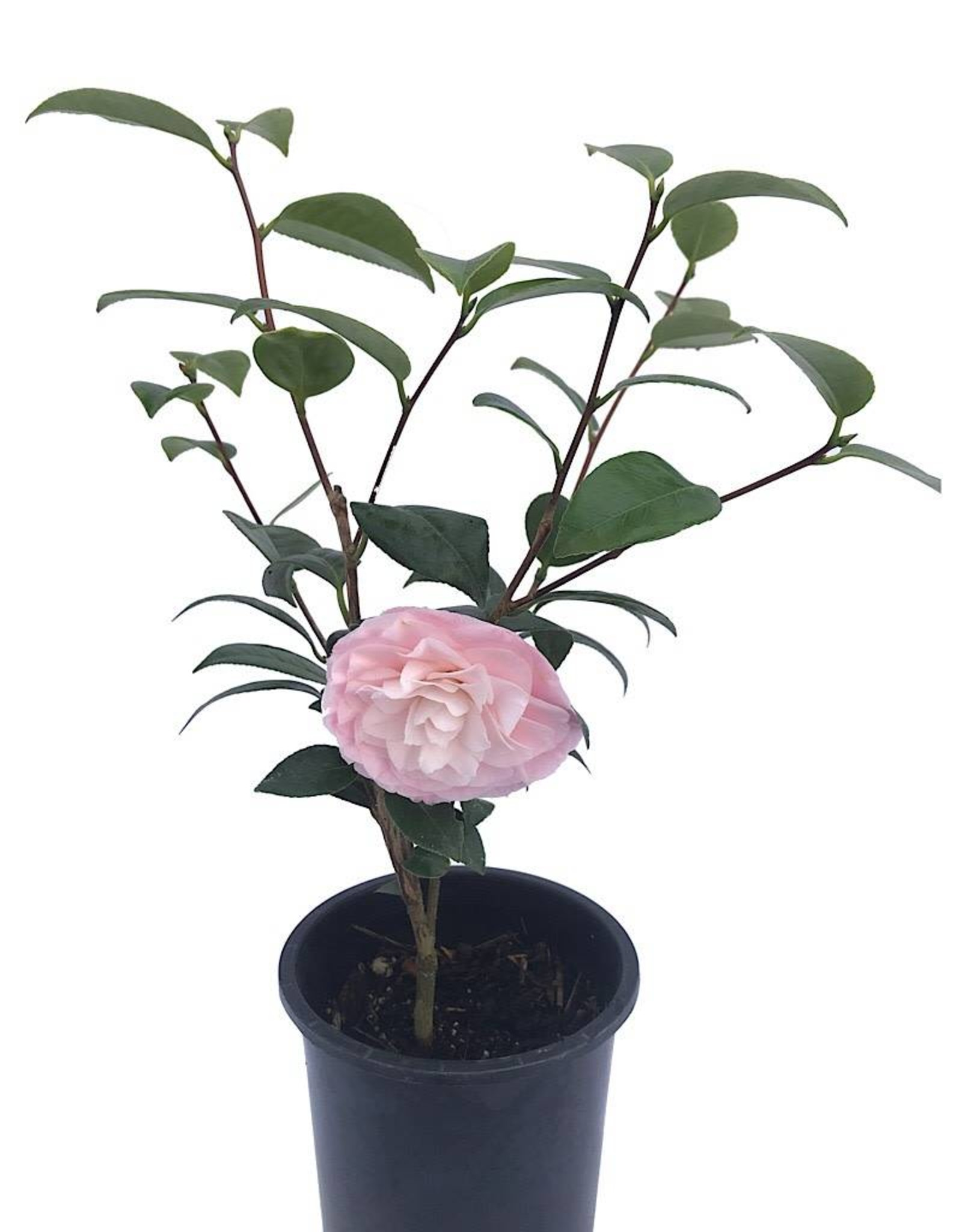 Camellia 'Nuccio's Pearl'- 1 gal
