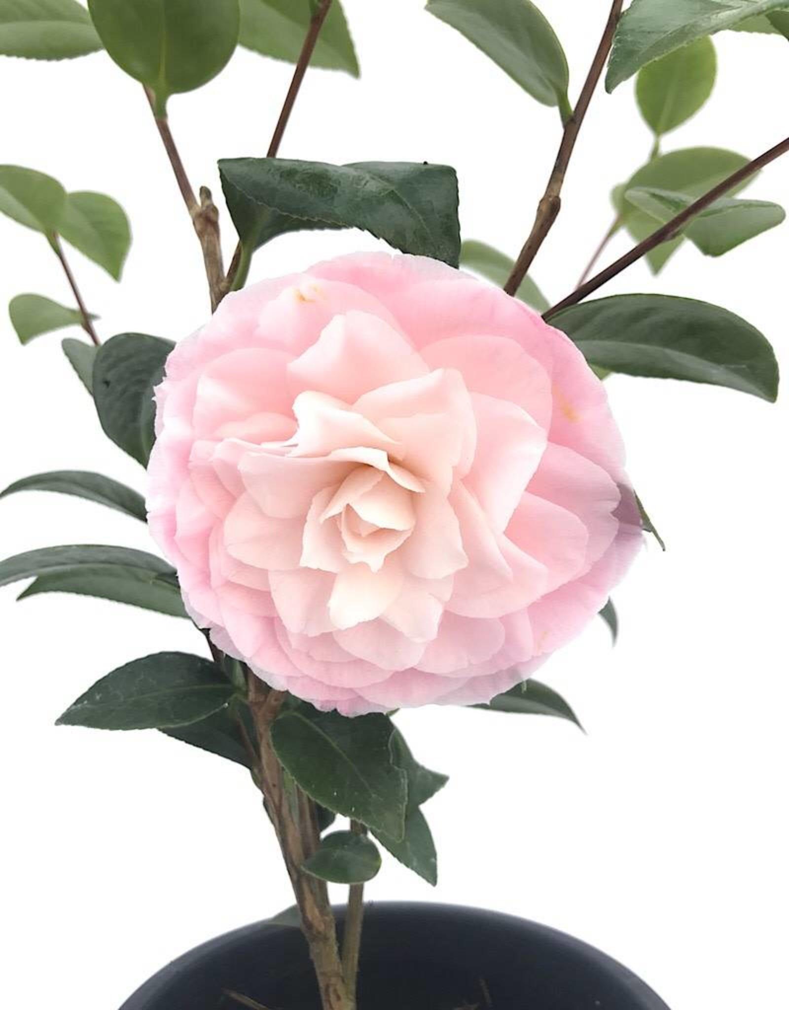 Camellia 'Nuccio's Pearl'1 gal