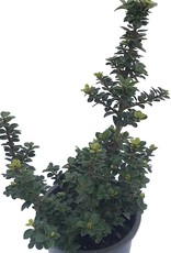 Ilex crenata 'Dwarf Pagoda' - 1 Gal