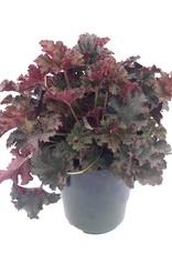 Heuchera 'Crimson Curls' - 1 gal