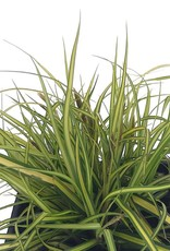 Carex o. 'EverColor Everillo' - 4 inch