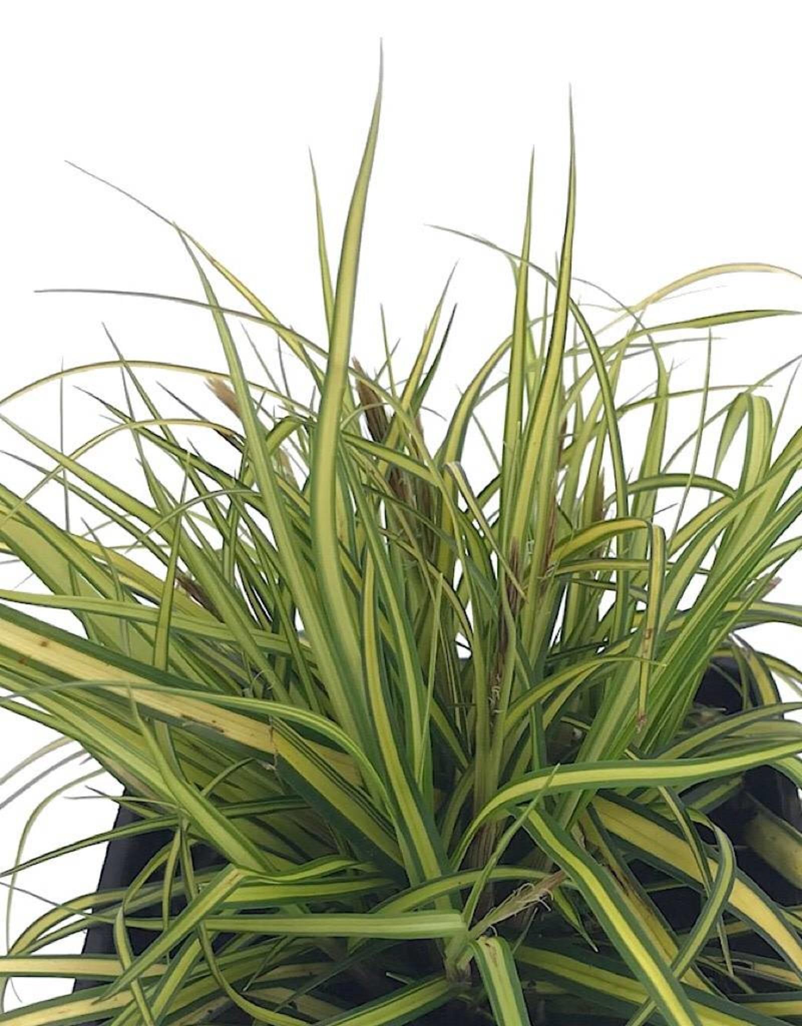 Carex o. 'EverColor Everillo' 4 inch