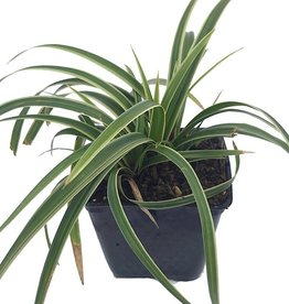 Carex morrowii 'Ice Dance' - 4 inch