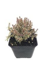 Thymus vulgaris 'Silver Posie' 4 inch