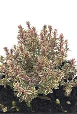 Thymus v. 'Silver Posie' - 4 inch