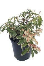 Pieris japonica 'Flaming Silver' - 1 Gal