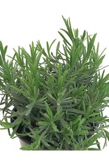 Lavandula a. 'Munstead' 1 Gallon