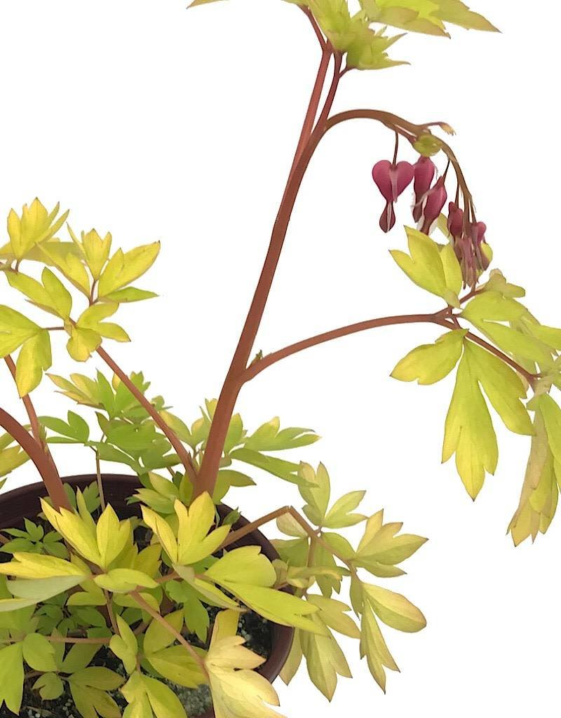 Dicentra 'Gold Heart' - 1 gal