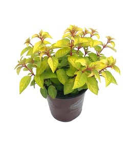 Fuchsia 'Golden Gate' 1 Gallon