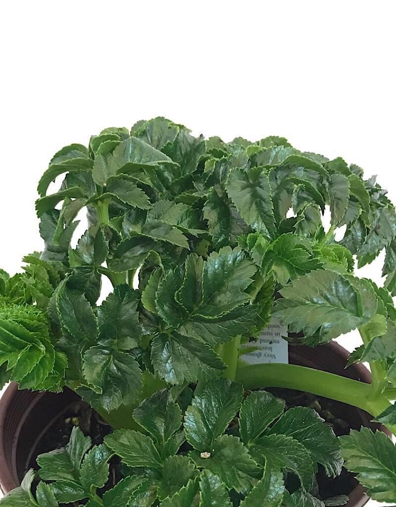 Angelica pachycarpa- 1 gal
