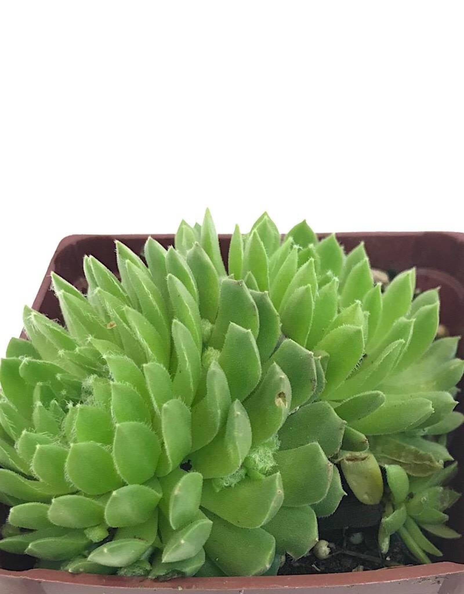 Sempervivum 'Pekinese' - 4 Inch