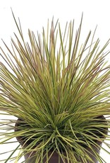 Deschampsia 'Northern Lights' - 1 gal
