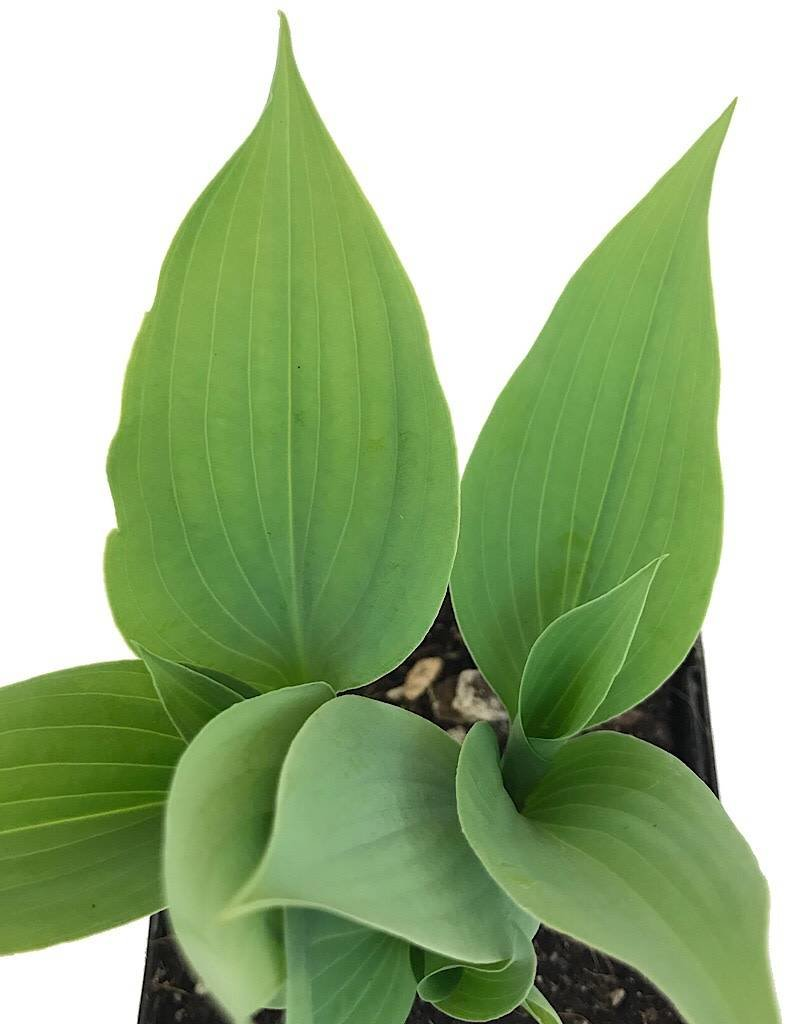 Hosta 'Fragrant Blue' - 4 inch