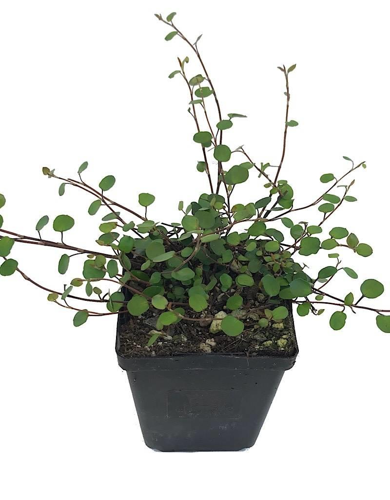 Muehlenbeckia complexa - 4 inch