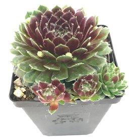 Sempervivum 'Pilioseum' - 4 inch